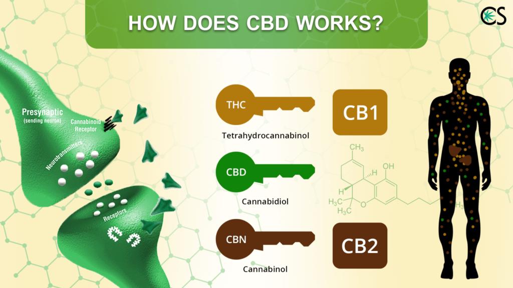 How Does CBD Work? | CBD School