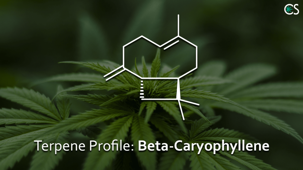 Terpene Profile Beta-Caryophyllene