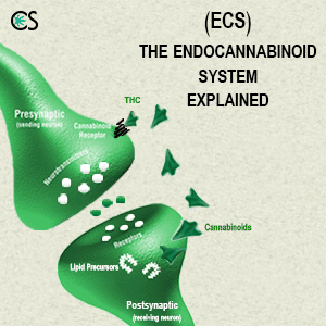 What is the Endocannabinoid system & how it works?