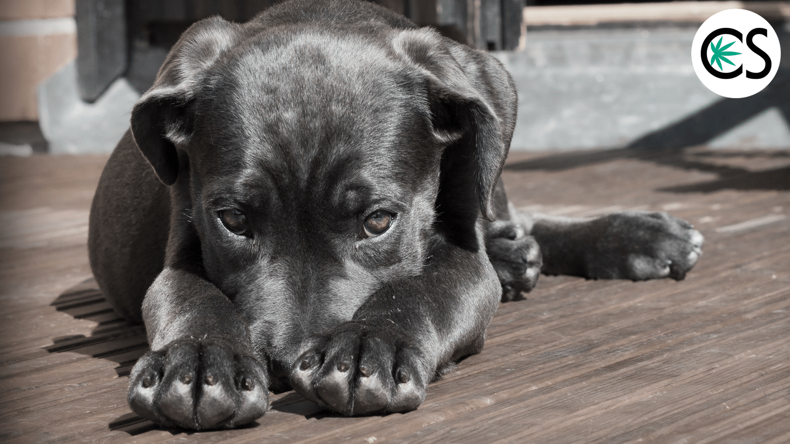 cbd-for-dogs-puppy