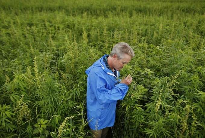 Growing Hemp On Farm