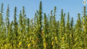 hemp-cbd-oil-field