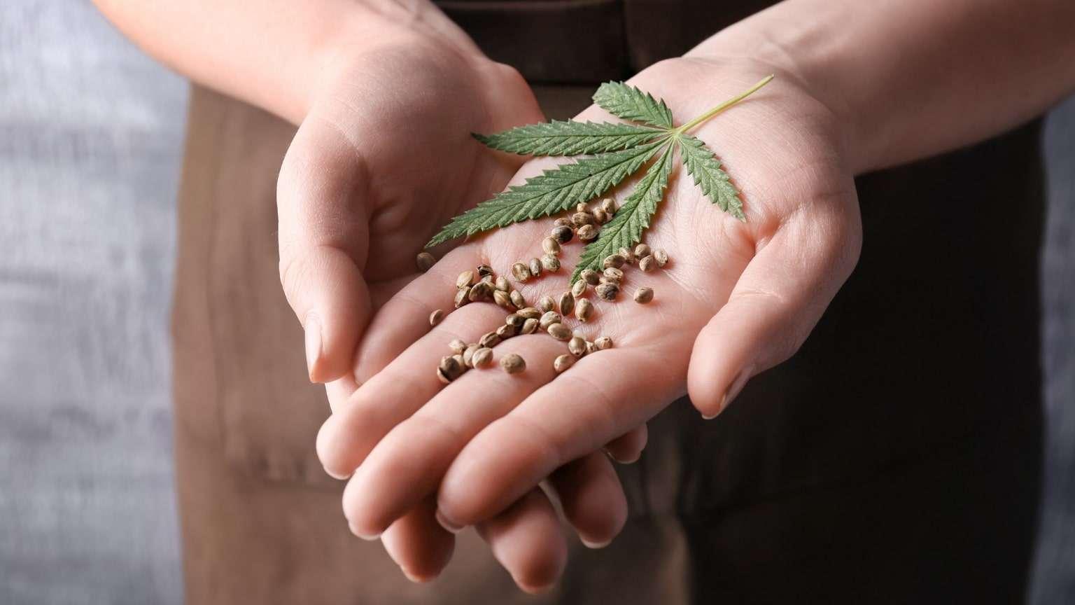 hemp-seeds-leaf-in-hands