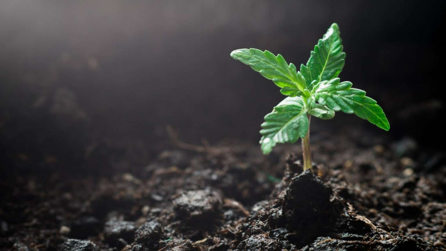 cannabis-hemp-plant-seedling