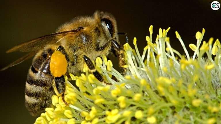 cbd-hemp-save-bees-pollen