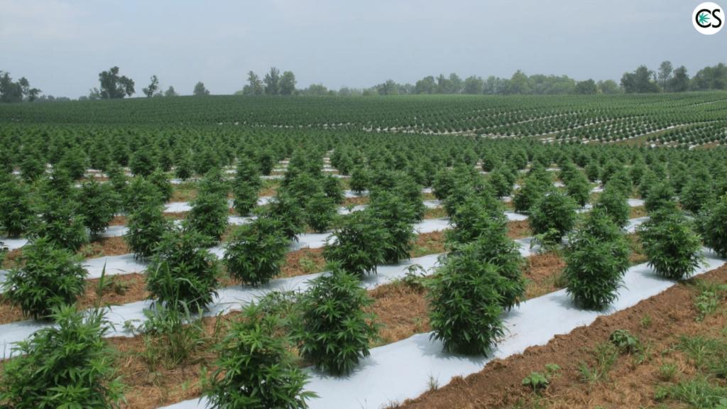 Resultado de imagen para hemp farming field