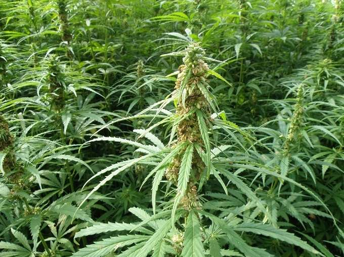 hemp plant cbd to thc ratio