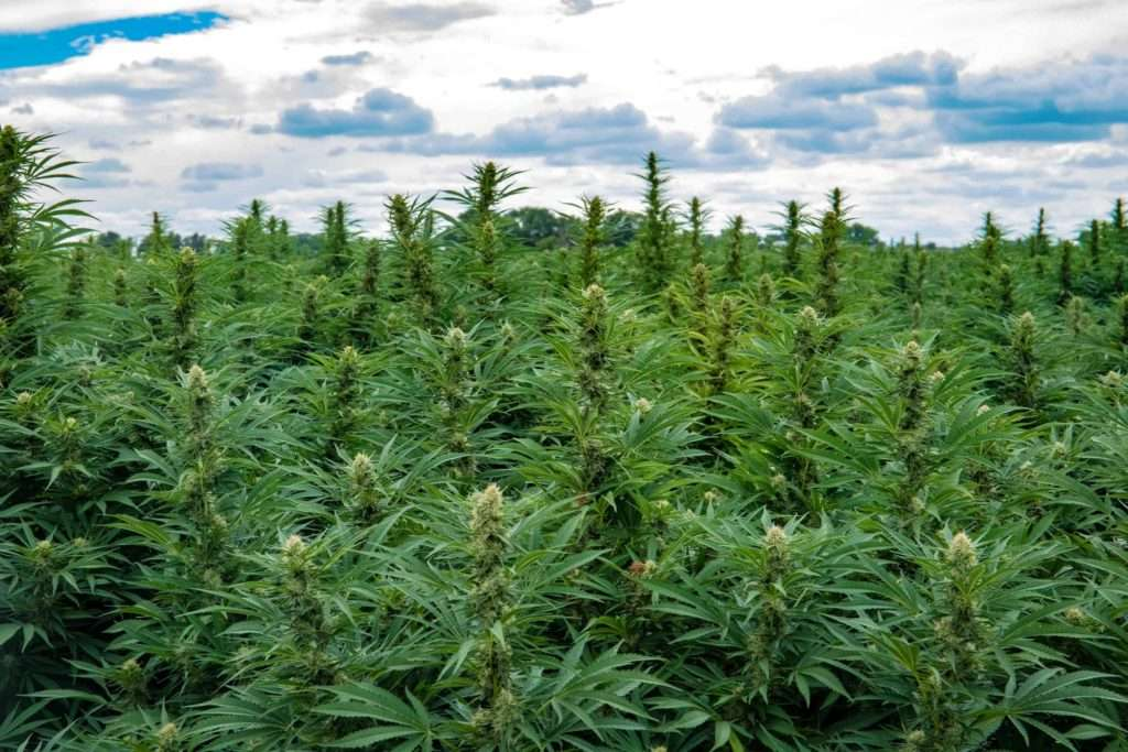 GoGreen Hemp Fields